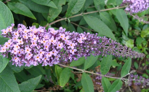 <b>Schmetterlingsstrauch - <i>Buddleja davidii</i></b>