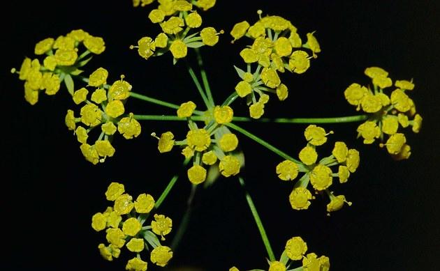 <b>Sichelblättriges Hasenohr - <i>Bupleurum falcatum</i></b>