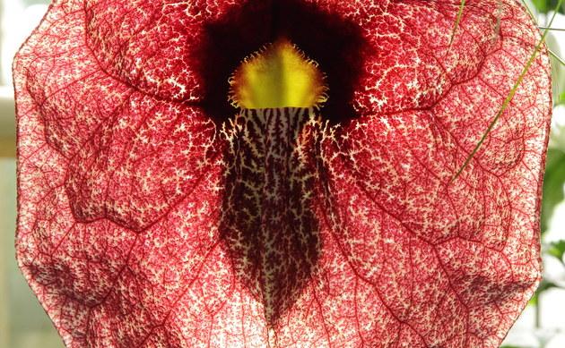 <b>Gespensterpflanze - <i>Aristolochia gigantea</i></b>