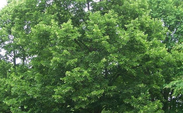 <b>Krim-Linde - <i>Tilia x euchlora</i></b>