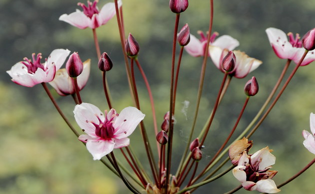 <b>Schwanenblume - <i>Butomus umbellatus</i></b>