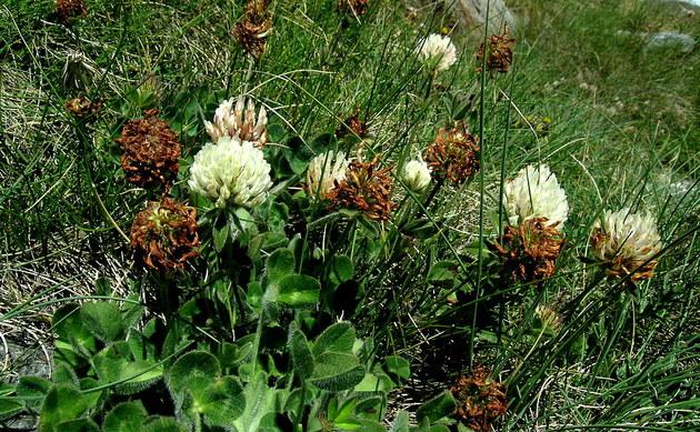 <b>Alpen-Wiesen-Klee - <i>Trifolium pratense subsp. nivale</i></b>