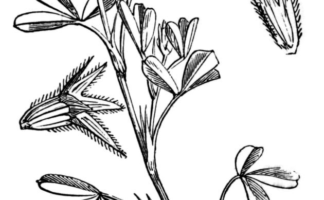 <b>Meer-Klee - <i>Trifolium squamosum</i></b>