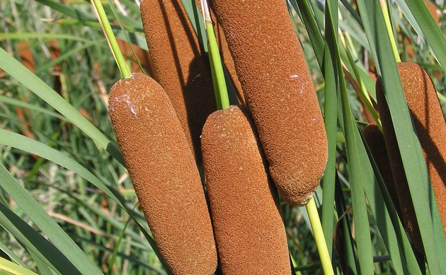 <b>Laxmann-Rohrkolben - <i>Typha laxmannii</i></b>