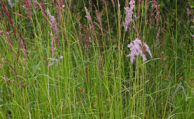 <b>Sumpf-Reitgras - <i>Calamagrostis canescens</i></b>