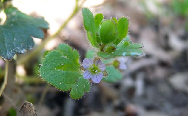 <b>Dreilappiger Efeu-Ehrenpreis - <i>Veronica hederifolia subsp. triloba</i></b>