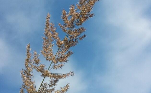 <b>Land-Reitgras - <i>Calamagrostis epigejos</i></b>