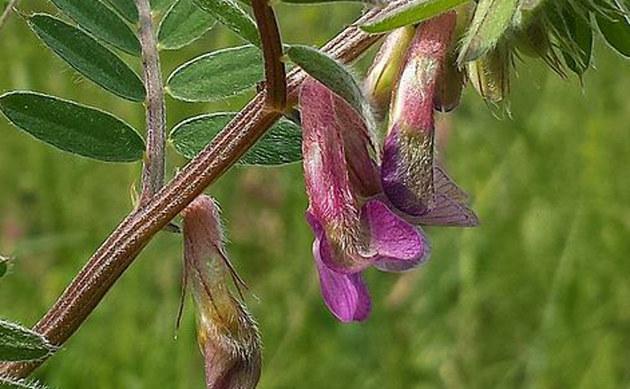 <b>Gestreifte Ungarische Wicke - <i>Vicia pannonica subsp. striata</i></b>