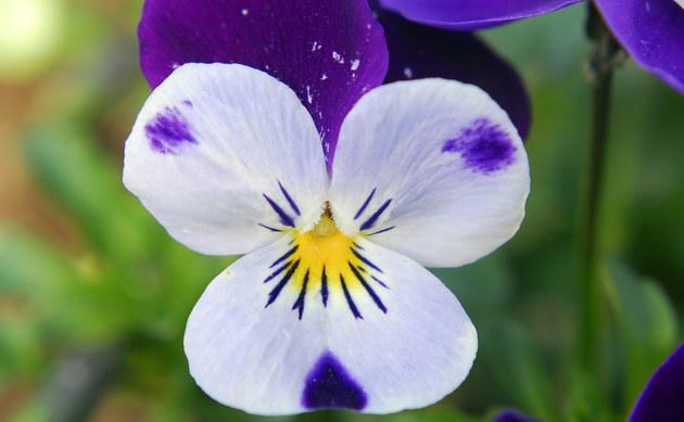 <b>Gehörntes Veilchen - <i>Viola cornuta Kultivare</i></b>