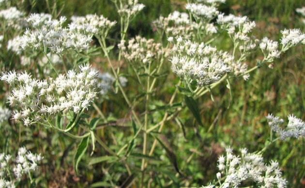 <b>Süßkraut - <i>Stevia rebaudiana</i></b>
