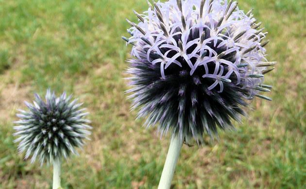 <b>Blaue Kugeldistel - <i>Echinops ritro</i></b>