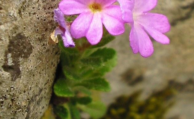 <b>Alpenbalsam - <i>Erinus alpinus</i></b>