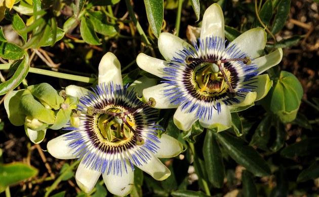 <b>Blaue Passionsblume - <i>Passiflora caerulea</i></b>