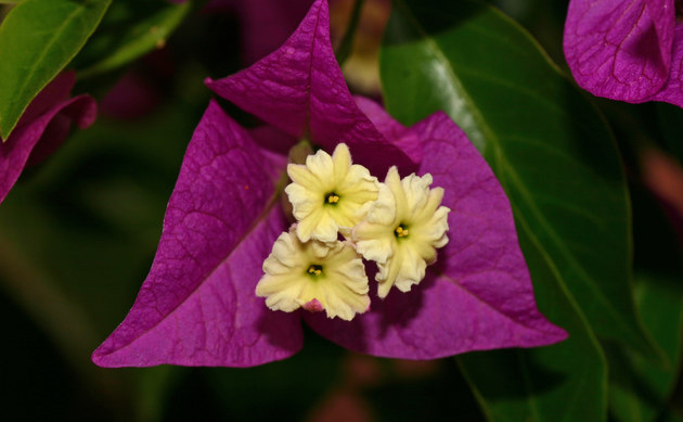 <b>Drillingsblume - <i>Bougainvillea spec.</i></b>