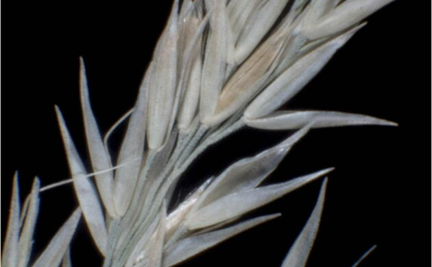 <b>Buntes Reitgras - <i>Calamagrostis varia</i></b>