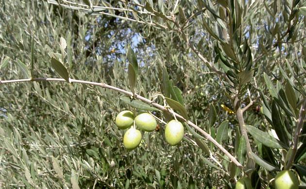 <b>Olivenbaum - <i>Olea europaea</i></b>