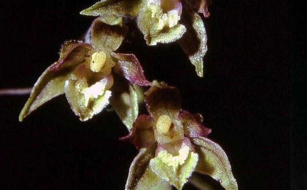 <b>Kleinblättrige Stendelwurz - <i>Epipactis microphylla</i></b>