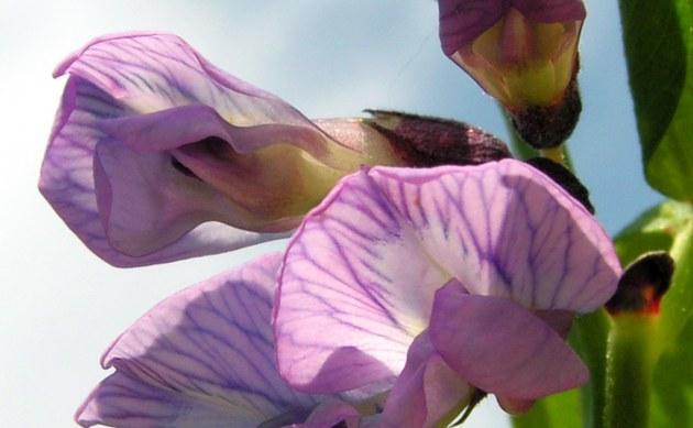 <b>Zaun-Wicke - <i>Vicia sepium</i></b>