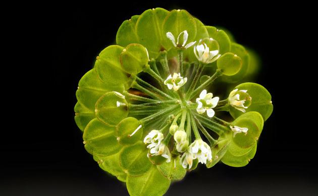 <b>Virginische Kresse - <i>Lepidium virginicum </i></b>