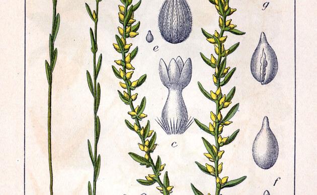 <b>Spatzenzunge - <i>Thymelaea passerina</i></b>