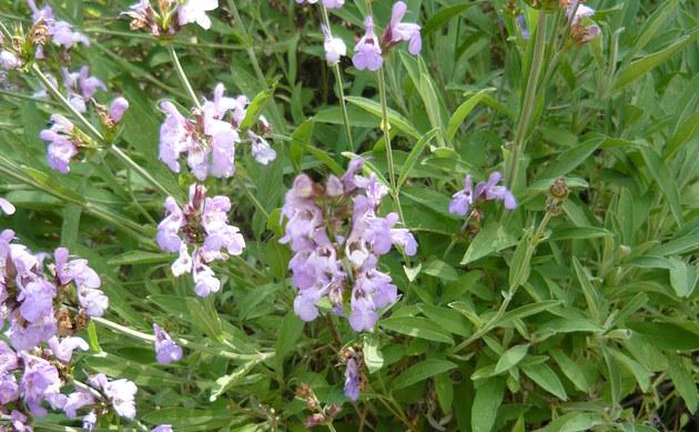 <b>Lavendelblättriger Salbei - <i>Salvia lavandulifolia</i></b>
