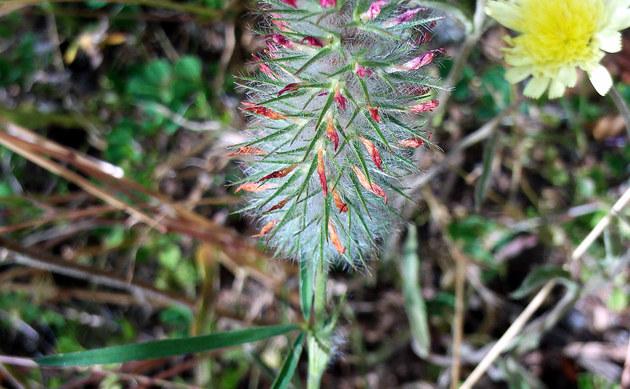 <b>Schmalblättriger Klee - <i>Trifolium angustifolium</i></b>
