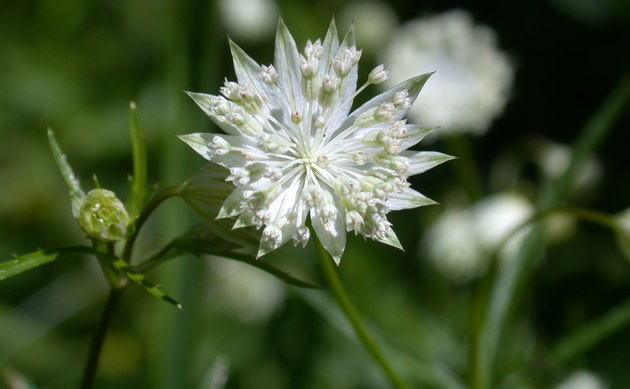 <b>Kleine Sterndolde - <i>Astrantia minor</i></b>
