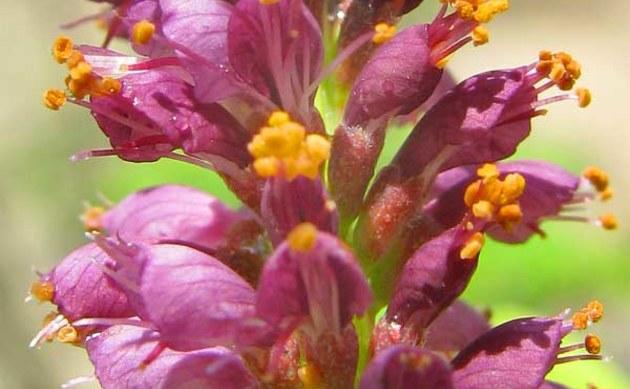 <b>Falscher Indigo - <i>Amorpha fruticosa</i></b>