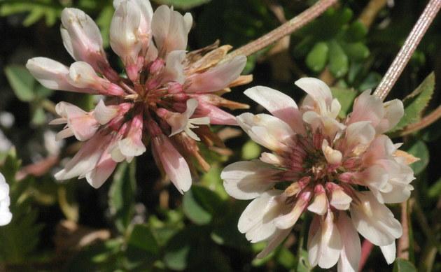 <b>Bleicher Klee - <i>Trifolium pallescens</i></b>