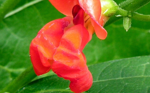 <b>Feuerbohne - <i>Phaseolus coccineus</i></b>