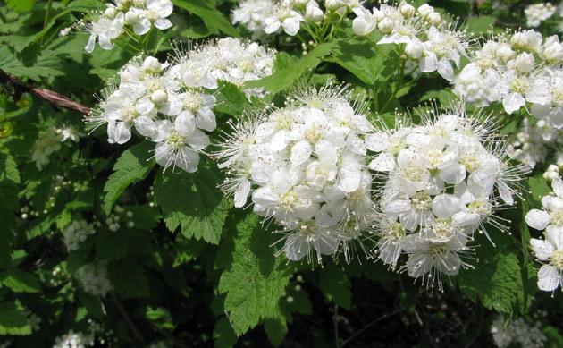 <b>Ulmen-Spiere - <i>Spiraea chamaedryifolia</i></b>