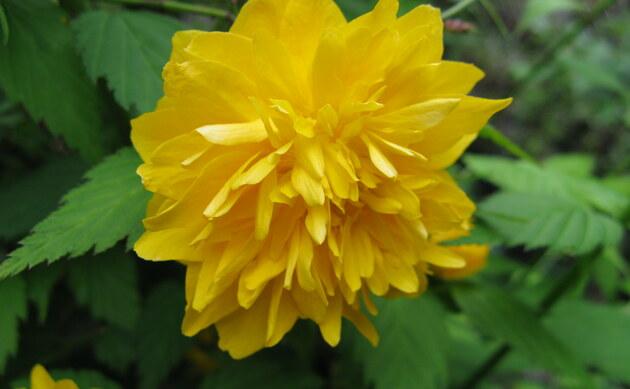 <b>Japanisches Goldröschen - <i>Kerria japonica</i></b>
