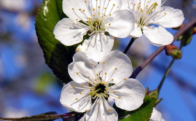 <b>Sauerkirsche - <i>Prunus cerasus</i></b>