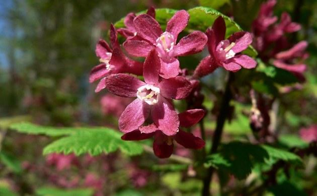 <b>Blut-Johannisbeere - <i>Ribes sanguineum</i></b>