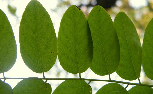 <b>Gewöhnliche Robinie - <i>Robinia pseudoacacia</i></b>