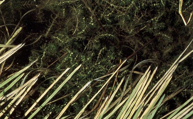<b>Herbst-Wasserstern - <i>Callitriche hermaphroditica</i></b>