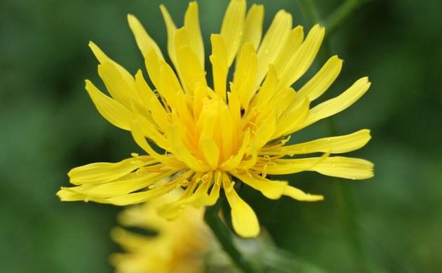 <b>Wiesen-Pippau - <i>Crepis biennis</i></b>