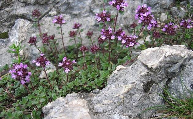<b>Alpen-Thymian - <i>Thymus polytrichus</i></b>
