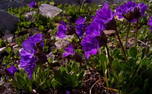 <b>Klebrige Schlüsselblume - <i>Primula glutinosa</i></b>