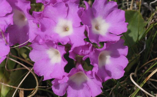 <b>Zottige Primel - <i>Primula villosa</i></b>