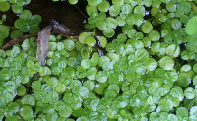 <b>Teich-Wasserstern - <i>Callitriche stagnalis</i></b>