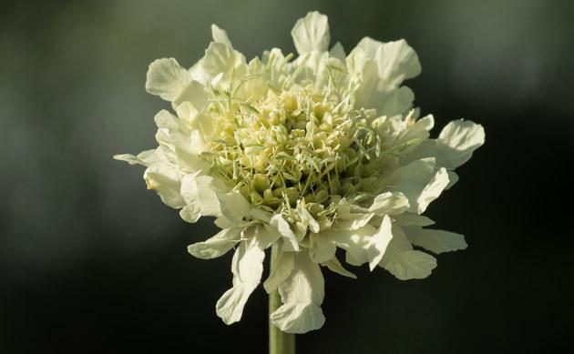 <b>Alpen-Schuppenkopf - <i>Cephalaria alpina</i></b>