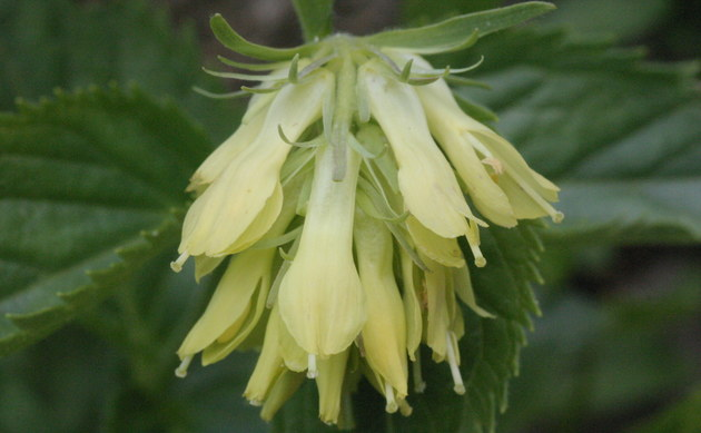 <b>Gelbes Mänderle - <i>Paederota lutea</i></b>