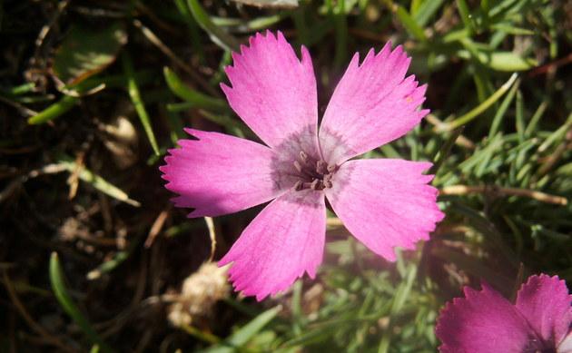 <b>Übersehene Nelke - <i>Dianthus pavonicus</i></b>