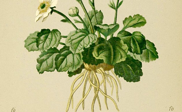 <b>Zweilappiger Hahnenfuß - <i>Ranunculus bilobus</i></b>