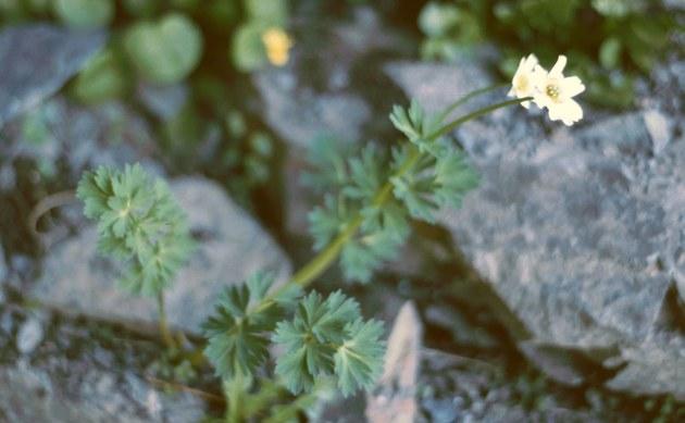 <b>Korianderblättrige Schmuckblume - <i>Callianthemum coriandrifolium</i></b>