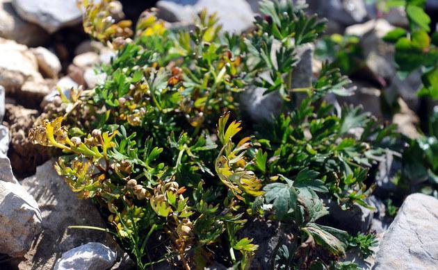 <b>Kerners Schmuckblume - <i>Callianthemum kernerianum</i></b>