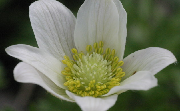 <b>Tiroler Windröschen - <i>Anemone baldensis</i></b>