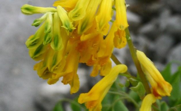 <b>Gelber Lerchensporn - <i>Corydalis lutea</i></b>
