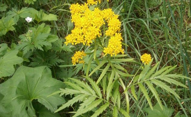 <b>Rainfarnblättrige Rauke - <i>Hugueninia tanacetifolia</i></b>